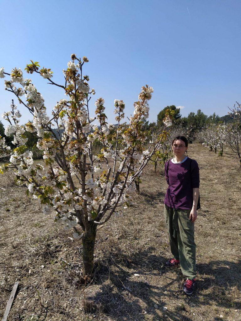 donde ver campos de cerezos en flor en Sant Climent de Llobregat